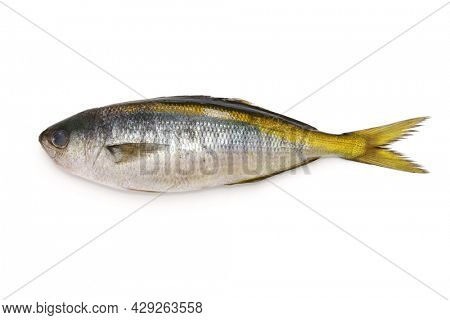 yellowstriped butterfish isolated on white background