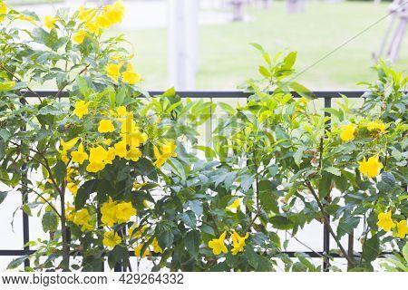Yellow Elder, Gold Yellow Color Trumpet Flower, Ellow Elder, Trumpet Bush, Tecoma Stans In Nature Ga