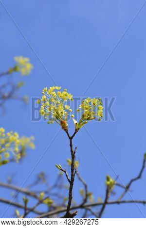 Norway Maple Branches With Flowers Against Blue Sky - Latin Name - Acer Platanoides