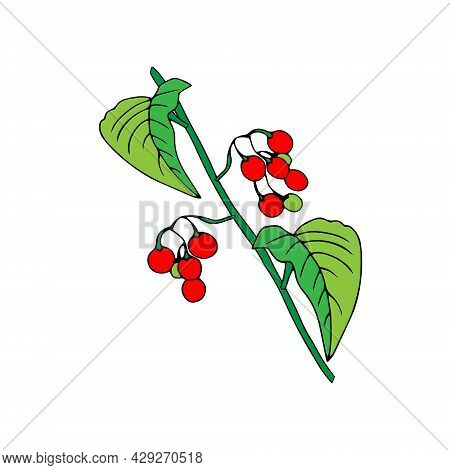 Colored Outline Hand Drawing Vector Illustration Of A Nightshade Plant With Red And Green Fruits Iso