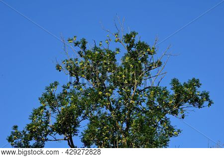 Ash Necrosis Is Characterized By A Very Rapid Onset Of The Disease, Necrosis Increases Rapidly And A