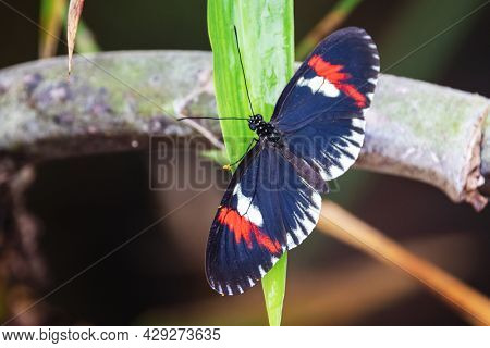 Closeup of a Central or South American Postman butterfly, Heliconius melpomene, pitched on a leaf. Dorsal view showing the 7 to 8cm wingspan.
