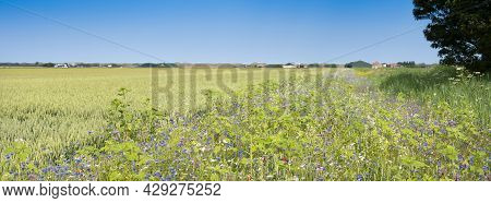 Corn Field And Summer Flowers Under Blue Sky On The Dutch Island Of Texel Under Blue Summer Sky In T