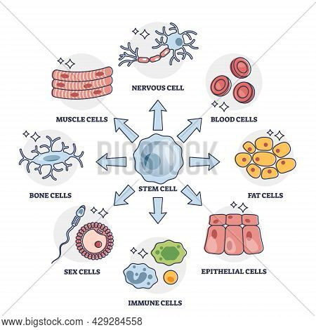 Cellular Differentiation Process With Stem Cell Type Change Outline Diagram. Educational Labeled Sch