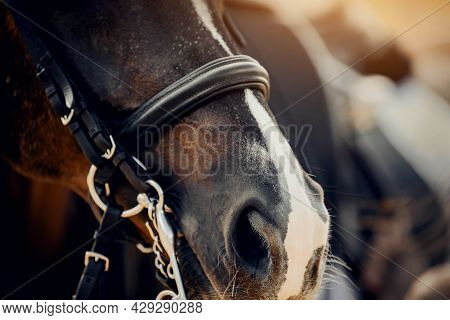 The Nose Of A Bay Horse With A White Groove On The Muzzle. Portrait Sports Stallion In The Double Br