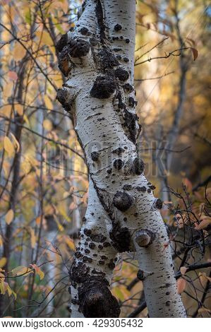 Twisted Trunk Of Aspen Tree In The Fall Inside A Forest In The Hope Valley Of California, Usa