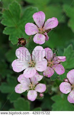 Pink Hybrid Geranium, Geranium X Parentage Uncertain Variety Pink Delight, Flowers In Close Up With