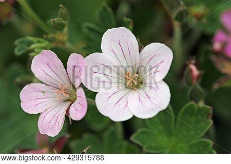 White And Pink Hybrid Geranium, Geranium X Parentage Uncertain Variety Pink Delight, Flowers In Clos