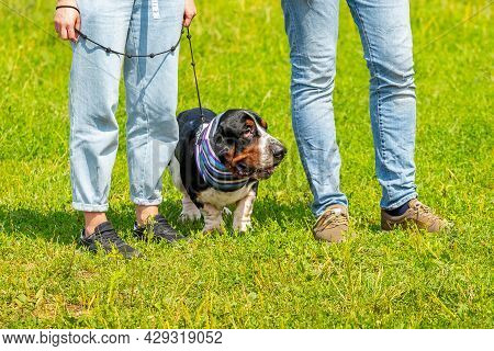 Dog Breed Basset Hound  In The Park Near People. Interesting Dog In A Scarf