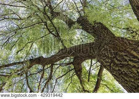 Old Willow Tree. The Crown Of A Large Tree. Old Rough Bark On A Tree Trunk