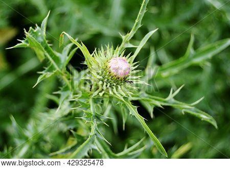 Large Herbaceous Medicinal Plant Burdock Arctium