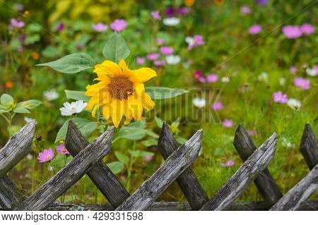 A Lonely Sunflower In A Flowering Meadow Behind A Weathered Wooden Fence. Close-up.