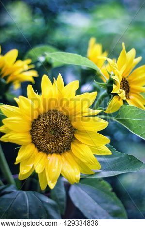 Common Sunflower With Yellow Petals On An Agricultural Field Closeup Of The Inflorescence Of Sunflow