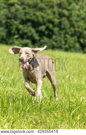 Side Shot Of A Weimaraner Dog Running Across A Meadow. Hunting Dog In The Meadow. Summer Day In A Wa