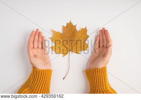 First Person Top View Photo Of Female Hands In Yellow Pullover Showing Yellow Autumn Maple Leaf On I