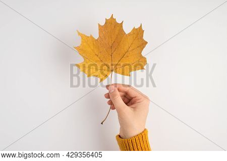 First Person Photo Of Woman's Hand In Yellow Pullover Holding Orange Autumn Maple Leaf On Isolated W