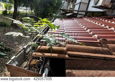 Close-up Of Clogged Roof Rain Gutter Full Of Dry Leaf And Plant Growing In It, With Selective Focus