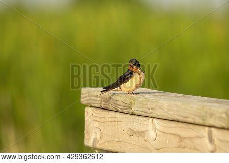 The Barn Swallow (hirundo Rustica), Adult Bird Sitting On A Railing
