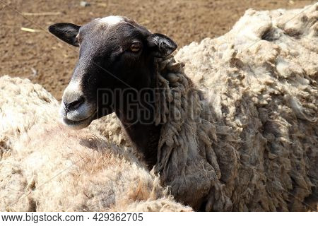 Close Up Of A Sheep On The Farm