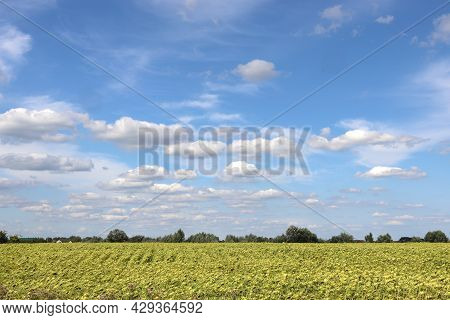 Summer Landscape With Field Of Yellow Sunflowers And Blue Sky With White Clouds