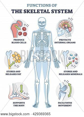 Skeletal System Functions Or Bone Anatomical Functionality Outline Diagram. Labeled Educational Spin