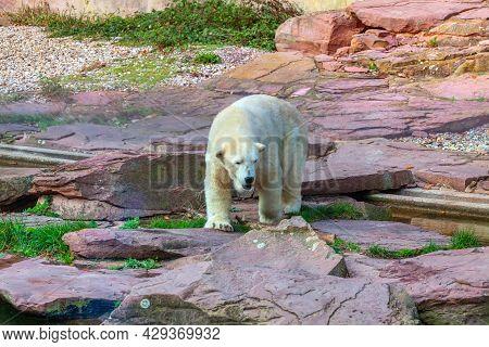 Polar Bear On The Rocks .  Dangerous Land Predator . Ursus Maritimus