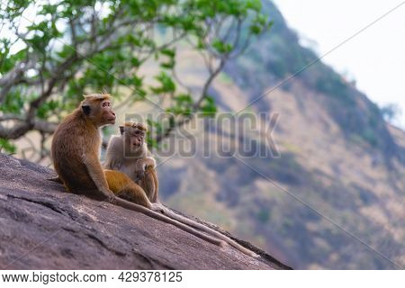 A Couple Of Tonque Macaque Sitting On A Rock, Sri Lanka. The Toque Macaque Macaca Sinica Is A Reddis