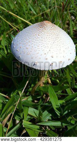 Mushroom in the grass. Wild mushroom growing in a grass field.