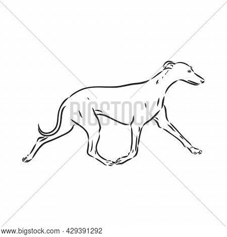 Greyhound Dog - Isolated Vector Illustration Greyhound Hound Vector