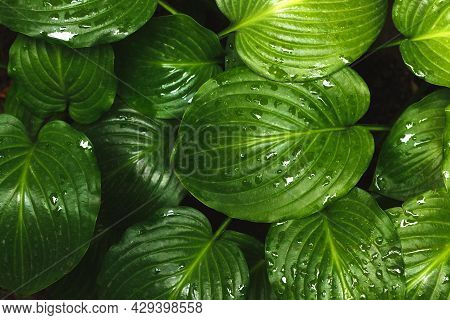 The Green Leaves Of Hosta In Summer After Rain. Green Life Concept