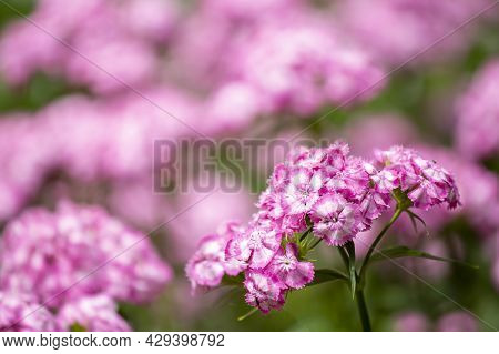 Summery Pink And Pretty Garden Flower, Sweet William (dianthus Barbatus) On Pink Background Flowerin