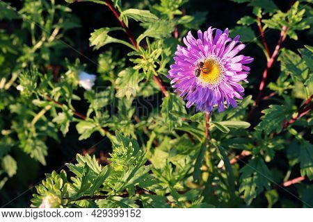 Lilac Aster Flower With A Bee Collecting Nectar On A Blurred Green Background. Blooming Asters In Th