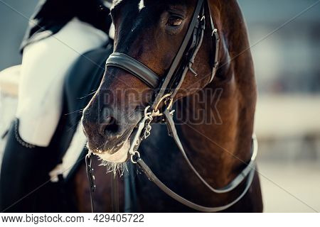 Portrait Sports Stallion In The Double Bridle. Horse Muzzle Close Up. Dressage Of Horses. Equestrian