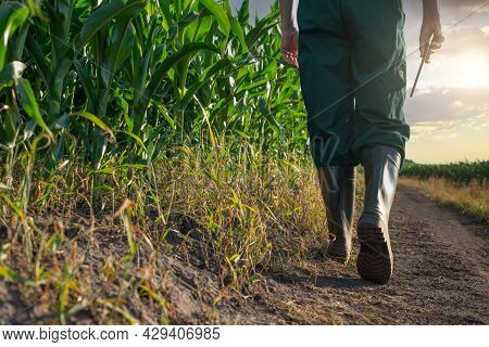 Caucasian Maize Worker Walks Along Corn Field With Tablet Computer In His Hand Sunset Time