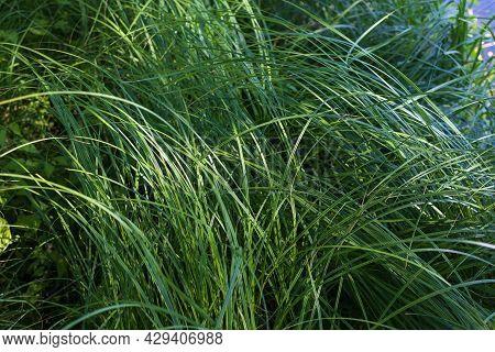 Background Of A Green Grass. Green Grass Texture Green Grass Texture From A Field