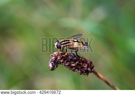 A Close-up Of A Hover Fly, Fly On A Plant.