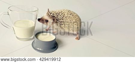 Little Hedgehog Sniffing Milk In Glass , Copy Space