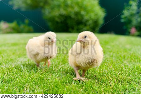 Two Small Broiler Chickens Are Walking On Green Lawn. Gallus Callus Domestics. Shallow Depth Of Fiel