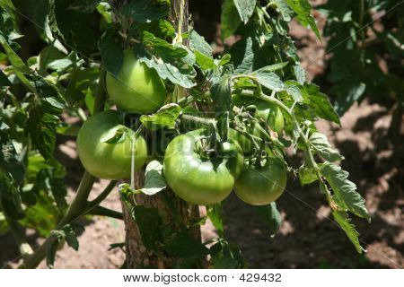 Agriculture-green Tomatoes