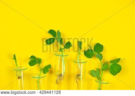 Sprouted Pea Sprouts In A Test Tube On A Yellow Background.the Concept Of The Biology Lesson, Resear
