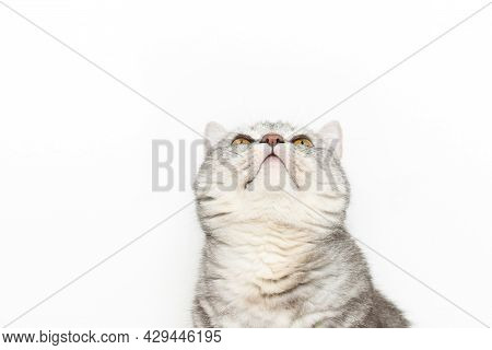 Cute Cat Threw His Head And Is Looking Up At White Background, Cat Watching Up Curiously