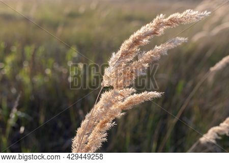Calamagrostis Epigejos A Woody Small-leaved Or Shrubby Grass. A Field Of Golden Spikelets At Sunset