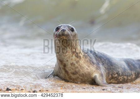 Cute Grey Seal Pup Portrait. Adorable Animal Looking At Camera. Beautiful Wide-eyed Marine Mammal Wi