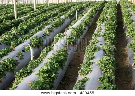 Agriculture - Strawberries