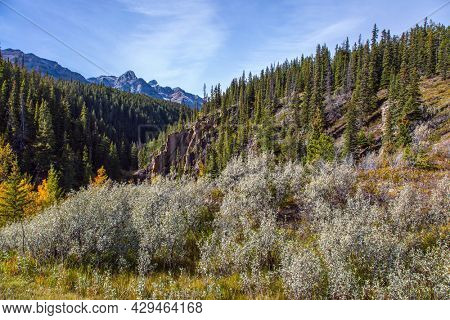 The yellow foliage of birches and aspens is mixed with green conifers. Great Canadian Rockies. Scenic shores of Abraham Lake.