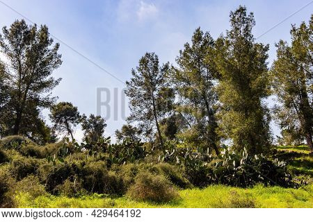 Picturesque pine grove. Tall slender pines grow in the meadow with lush tall grass. Warm sunny february day. Israel. Spring green world.