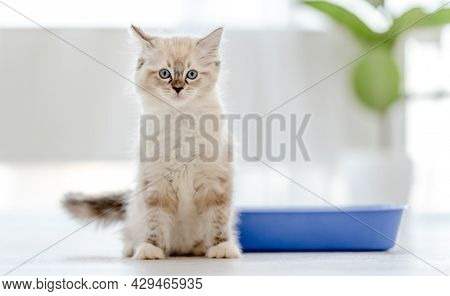 Cute fluffy white ragdoll cat with incredible blue eyes standing close to toilet tray and looking at the camera. Beautiful purebred feline pet outdoors