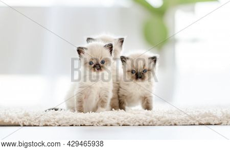 Adorable white ragdoll cats standing holding in its mouth paper ball in light room with daylight. Lovely cute purebred feline pet playing outdoors with toys