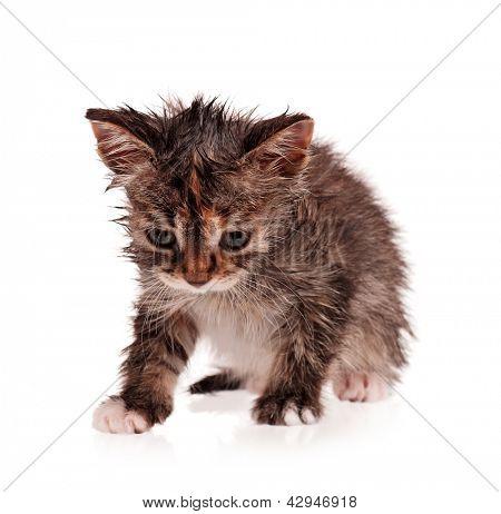 Wet shorthair kitten isolated on white background