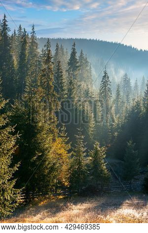 Coniferous Forest At Foggy Sunrise. Trees At The Foot Of A Hill In Morning Light. Blue Sky With Fluf